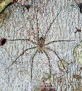 Huntsman spider (Heteropoda sp.?) from La Selva, Ecuador.