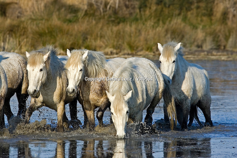 CAMARGUE HORSE, HERD IN SWAMP, SAINTES MARIE DE LA MER IN THE SOUTH OF FRANCE