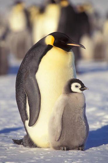 Emperor Penguin, (Aptenodytes forsteri) Adult and chick. Atka Bay. Antarctica.