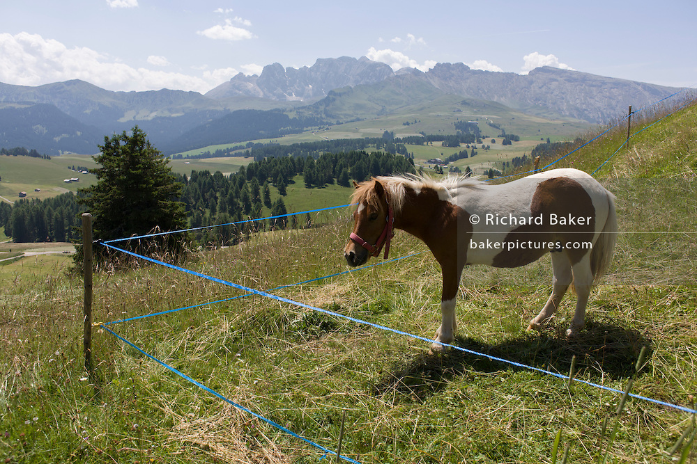 Grazing pony on the Siusi plateau, above the South Tyrolean town of Ortisei-Sankt Ulrich in the Dolomites, Italy.