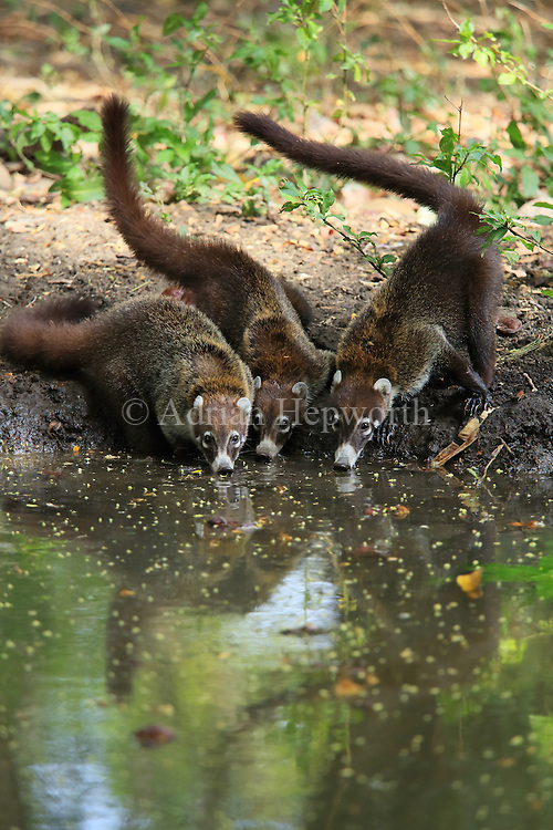 Group pf white-nosed coatis (Nasua narica) drinking at a pond. Tropical dry forest, Palo Verde National Park, Guanacaste, Costa Rica.