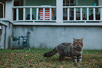 Cat in front yard of intown home, looking at camera