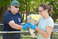 Middletown, New York -  New York State Department of Environmental Conservation habitat biologist JONATHAN RUSSELL hands a Canada goose gosling to DEC wildlife technician SARAH TRAVALIO at Fancher-Davidge Park on June 23, 2014. The DEC herded the geese into a pen and then banded the geese that did not already have bands. Geese are banded in late June and early July because they are molting and unable to fly.  Banding helps scientists learn about the birds' migration, feeding patterns and other behaviors.
