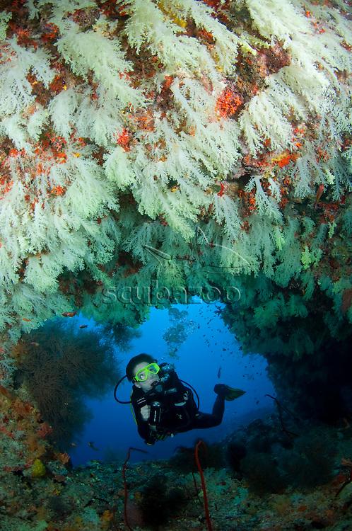 Diving at entrance of cave, looking at walls full of Soft Corals, Vaavu Atoll, The Maldives