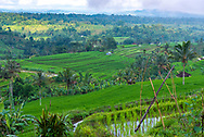 Overlooking terraced rice paddies in Java Indonesia. A UNESCO cultural heritage site.