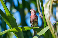 House Finch (Carpodacus mexicanus) perched in tree, (Cynanthus latirostris), San Juan Cosala, Jalisco, Mexico