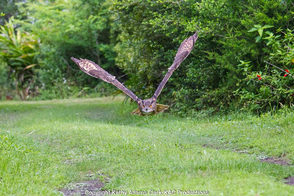 Eurasian eagle-owl, Bubo bubo, flying, in flight, captive,