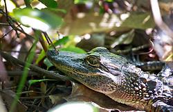 20 April 2014. Barataria Preserve, Louisiana. <br /> A juvenile American alligator at the Barataria Preserve.<br /> Photo; Charlie Varley