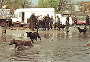 Travellers dogs playing in flood-water, Dresden, Germany, 2000's