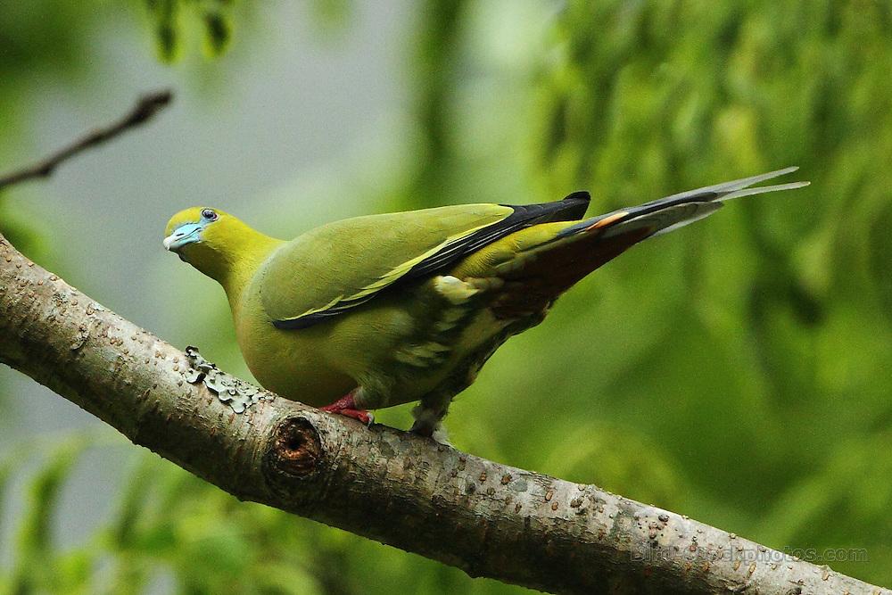 Pin-tailed Green Pigeon, Treron apicauda, Bhutan, by Markus Lilje