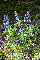 Found along the lower slopes of the Cascades Mountains, this lupine is identified by leaf-shape and the noticealy reddish-brown stems where the flowers blossom.