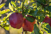 Apple orchard, Finnriver organic farm, Port Townsend on the North Olympic Peninsula, Washington