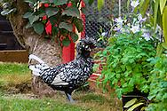 Urban chicken coop with chickens