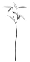 X-ray image of a sessile bellwort stalk (Uvularia sessilifolia, black on white) by Jim Wehtje, specialist in x-ray art and design images.