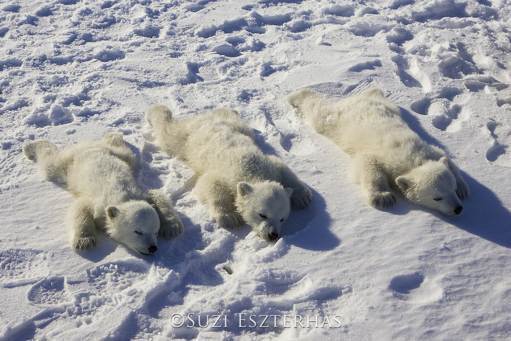 Polar Bear<br /> Ursus maritimus<br /> Anesthetized 3-4 month old triplet cub(s) awaiting examination by polar bear biologists<br /> Wapusk National Park, Canada