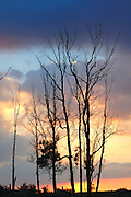 Israel, Negev, deciduous tree with no foliage at sunset