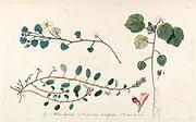 Hand painted botanical study of a Malvella leprosa (alkali mallow) flower anatomy from Fragmenta Botanica by Nikolaus Joseph Freiherr von Jacquin or Baron Nikolaus von Jacquin (printed in Vienna in 1809)