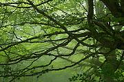 Peloño Forest, Ponga, Asturias, Spain