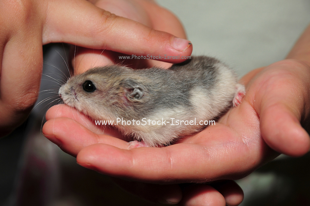 Pet Winter white Russian dwarf hamsters (Phodopus sungorus)