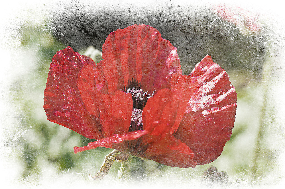Poppy Perfection - Timeless Garden Series<br /> <br /> The images in the Timeless Garden Series are available to order as fine art prints. Please contact me for details.