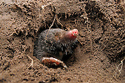 [captive] European Mole (Talpa europaea) in its subterranean burrows. Kiel, Germany | Maulwurf (Talpa europaea) in seinem unterirdischen Gang. Kiel, Deutschland