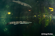 Morelet's crocodile, Central American crocodile, or Belize crocodile, Crocodylus moreletii,  swimming in cenote, or freshwater spring, near Tulum, Yucatan Peninsula, Mexico, with reflection on undersurface of water