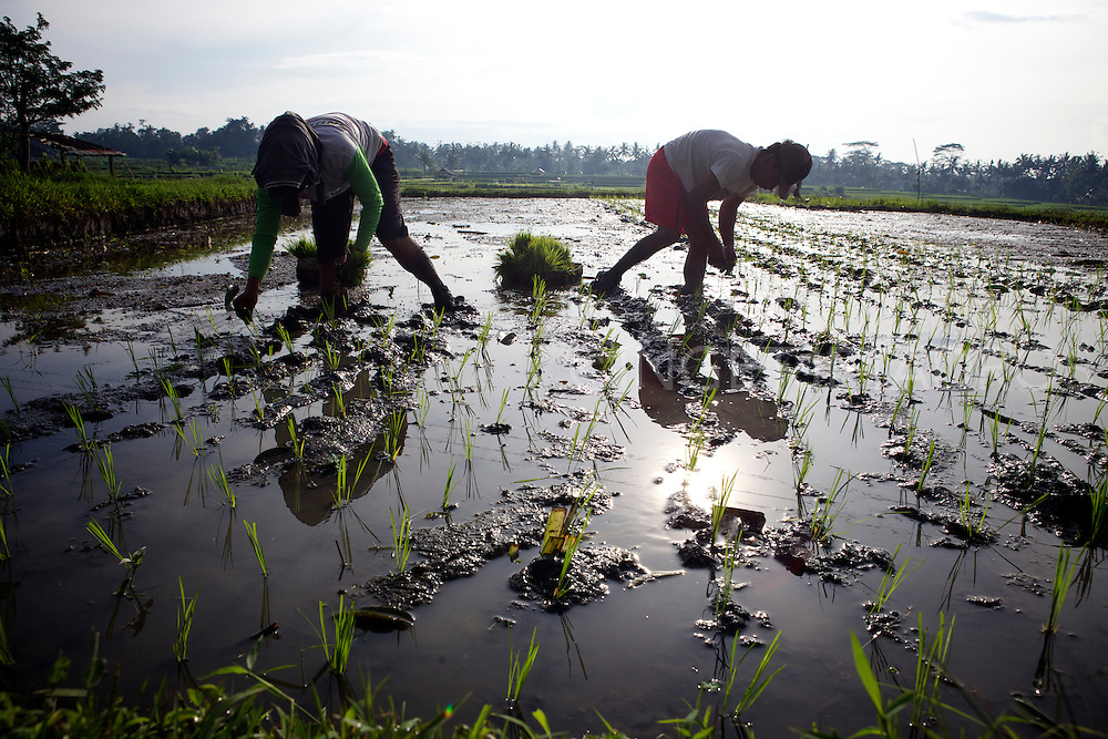 A couple is planting rice at their rice paddy around Ubud. &copy;Ingetje Tadros<br />