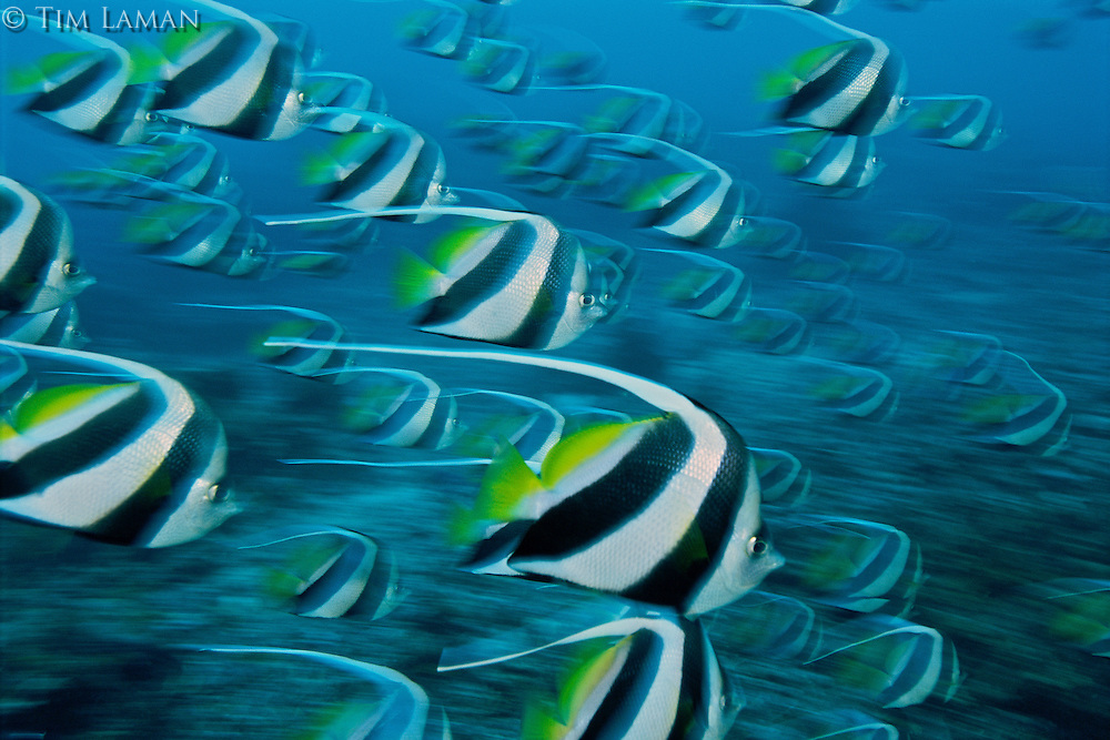 A swift moving school of Schooling Bannerfish, Heniochus diphreutes.  Their banded pattern may seen to make them conspicuous, but when they move quickly as a group, it may be confusing and make it harder for prey to target an individual.