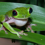 Red-eyed tree frog. The Piro Biological Station run by Osa Conservation in the Osa Peninsula, Costa Rica.