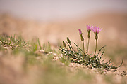 Wild salsify (Scorzonera papposa) Photographed in Israel in March
