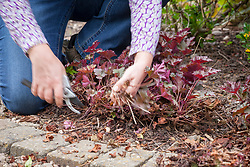 Removing old leaves from a heuchera to encourage fresh new leaves.