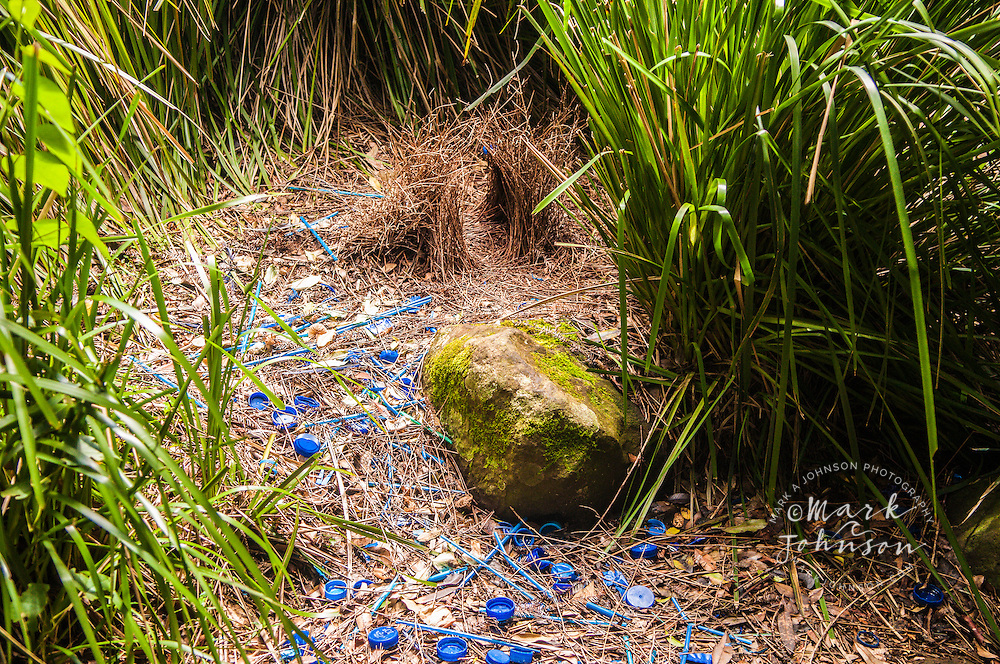 Satin Bowerbird (Ptilinorhynchus violaceu) bower, decorated with blue items to attract a female, Lamington National Park, Queensland, Australia