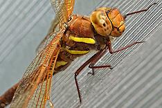 20150807 NED: Bruine glazenmaker libelle, Maarssen