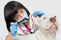 Female veterinarian checking ear's of dog against gray background