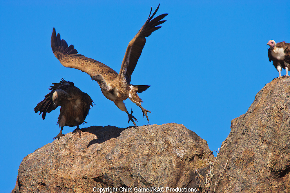 Three White-backed Vultures (Gyps africanus) perched on top of rocks taking off against a blue sky, Serengeti National Park, Tanzania Africa; near threatened species; old world vulture; scavenger; social species; flying