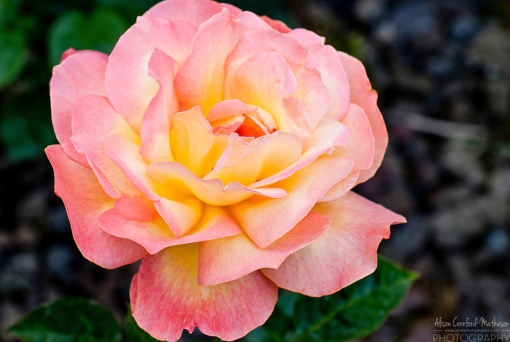 Rose Waverland