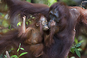 Bornean Orangutan <br /> Pongo pygmaeus<br /> One-year-old baby trying to get food from mother's mouth<br /> Tanjung Puting National Park, Indonesia
