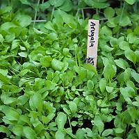 Arugula seedlings in a kitchen garden.