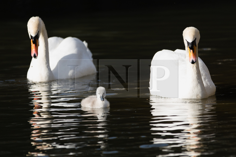 © Licensed to London News Pictures. 10/04/2016. London, UK. A swan cygnet swims with its parents in an urban canal in Wapping, east London during sunny spring weather this morning. The swan cygnet is one of the first to hatch in London this year.  Photo credit : Vickie Flores/LNP