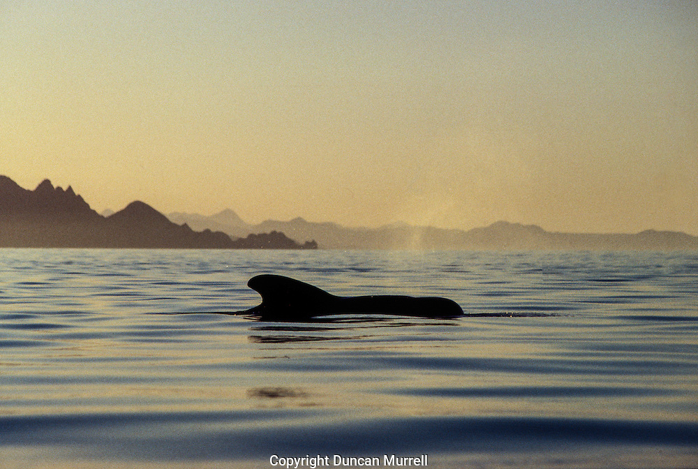 I was on my way to explore two offshore islands just to the south of Isla Danzante, Isla Monserrat and Isla Santa Catalina in the Bahia de Loreto National Park, when I encountered a pod of short-finned pilot whales; this was my first ever encounter with pilot whales in my kayak. They are very impressive cetaceans, with a prominent melon (acoustic swelling), like big black shiny torpedoes. They were very inquisitive about me and were frequently spyhopping to get a better view of me. Spyhopping is when cetaceans elevate themselves vertically out of the water to be able to get a better view of something.