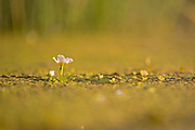 Common Water Crowfoot (Ranunculus aquatilis).Photographed in Israel in May