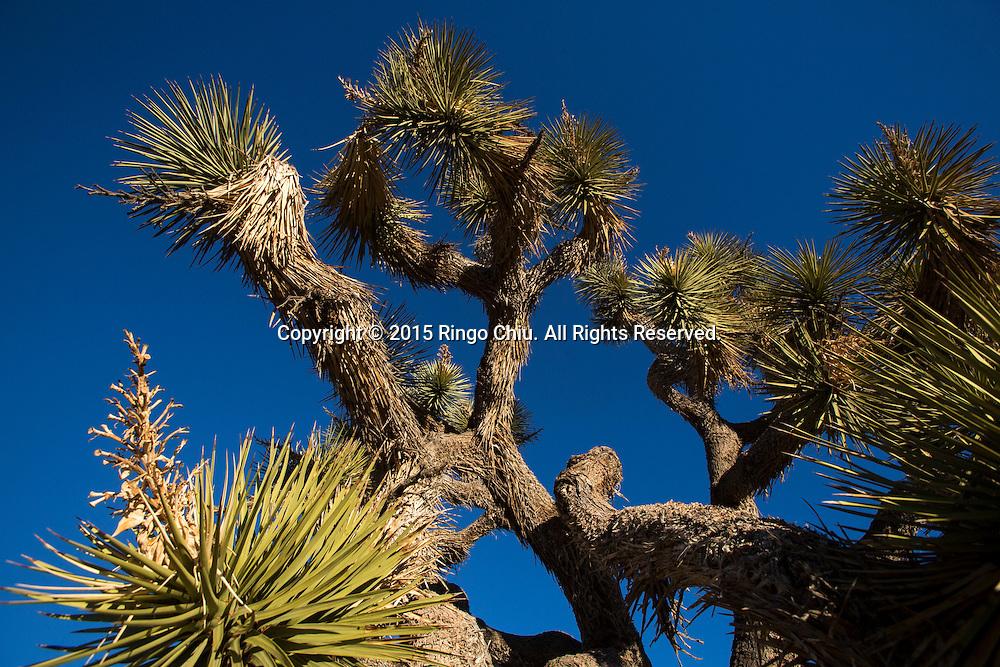 Joshua trees are seen at Joshua Tree National Park in Twentynine Palms, California, January 25, 2015. (Photo by Ringo Chiu/PHOTOFORMULA.com)
