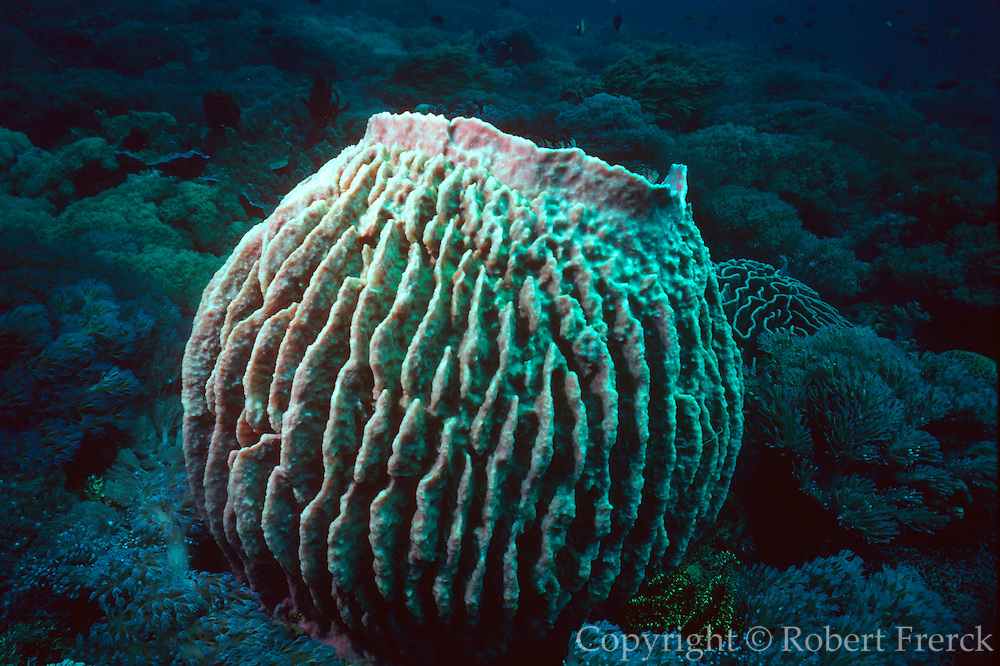 UNDERWATER MARINE LIFE WEST PACIFIC: Southwest SPONGES: Barrel sponge Demospongiae