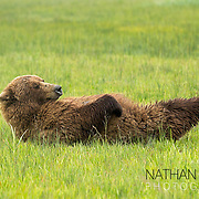 Brown bear lying on back in sedge meadow;  Lake Clark, Alaska .