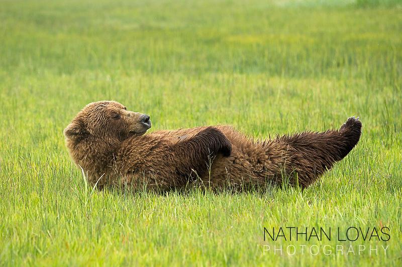 Brown bear lying on back in sedge meadow;  Lake Clark, Alaska .