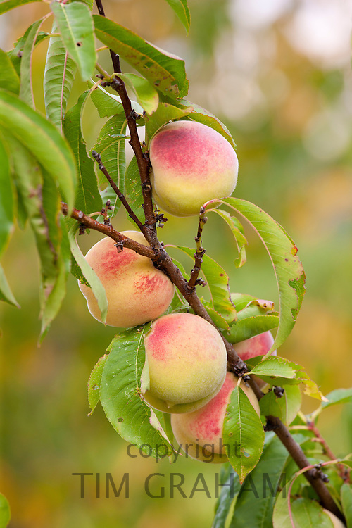 Fresh peaches growing farm estate of La Fornace at Montalcino in Val D'Orcia, Tuscany, Italy