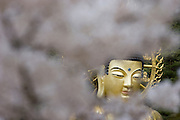 Songnisan National Park. Beopjusa Temple. Cherry blossoms surround the 33m high, 160 ton golden Buddha statue.