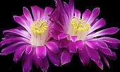 Cactaceae Portfolio I: American and Mexican Species