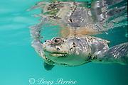 Kemp's ridley sea turtle, Lepidochelys kempii, Critically Endangered Species, Mexico