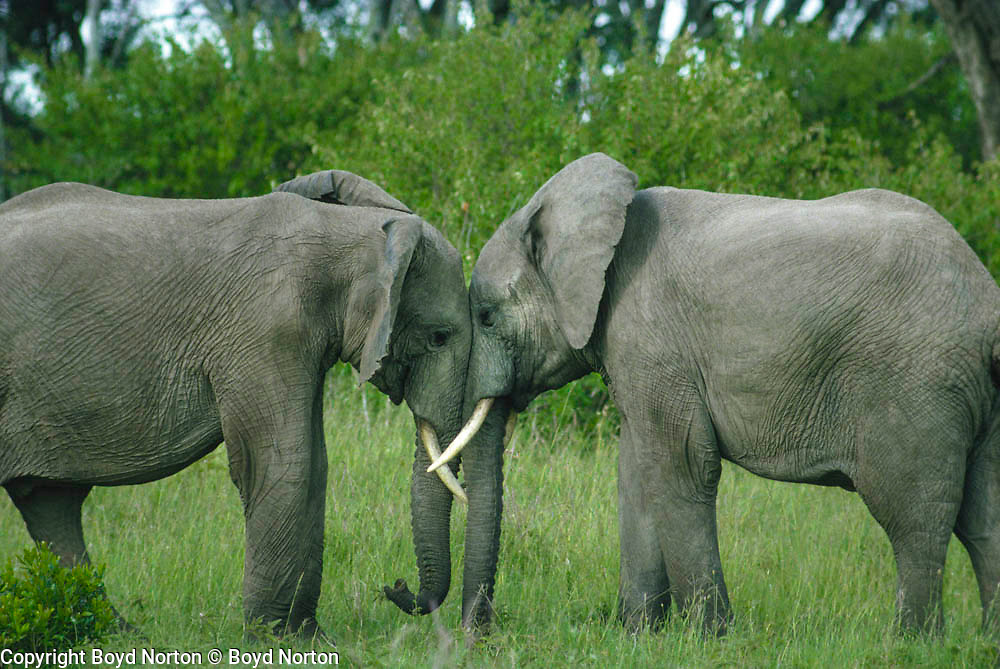 Elephant siblings greeting, part of a family group, Serengeti National Park, Tanzania. as of 2013 Tanzania is losing 70 elephants a day to poaching.